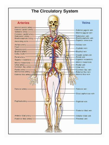 Human Internal Organs Diagram Circulatory House Wiring Diagram