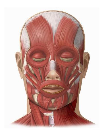 Illustration of the Human Face Muscles Showing the Following ...