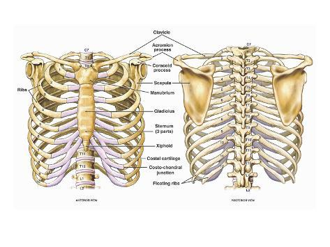 Illustration of the Thoracic (Chest and Back) Skeletal Anatomy ...