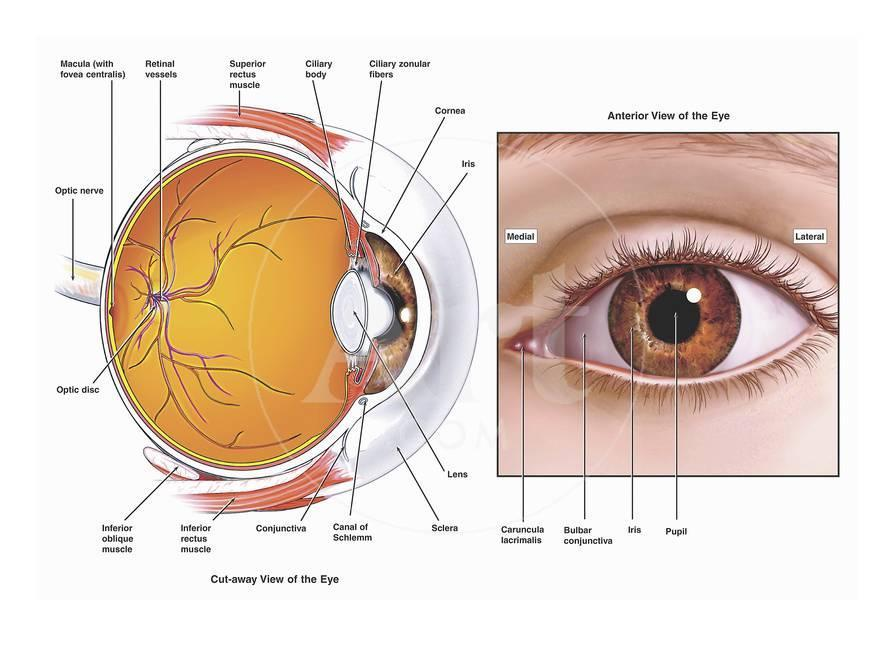 Illustrations Showing The Anatomy Of The Human Eye From A Sagittal