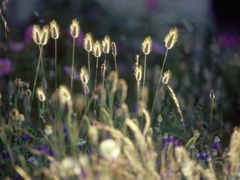 Hares Tail, Backlit, La Corse, France Fotoprint