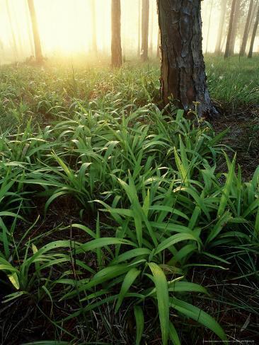Pine Forest Sunrise, USA Fotoprint