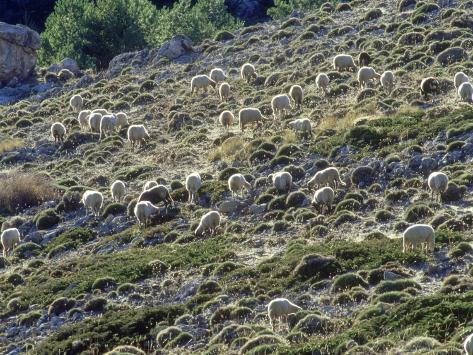 Sheep, Herd Feeding on Meadow, Andalucia, Spain Fotoprint