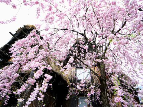 Old Farm House and Cherry Blossoms Fotoprint
