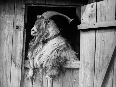 Old Goat Impressão fotográfica