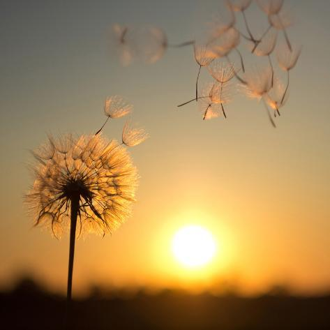 Dandelion against the Backdrop of the Setting Sun Stampa fotografica