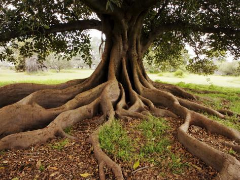 Fig Tree in Queens Park Photographic Print