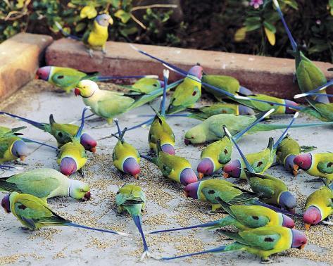 Parrots of Rajasthan Art Print