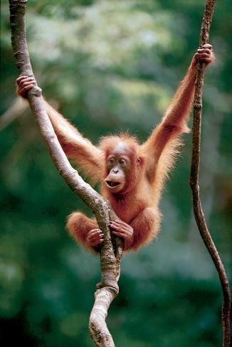 Orangutan Baby Stretched Canvas Print
