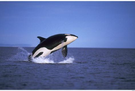Orca Lámina maestra
