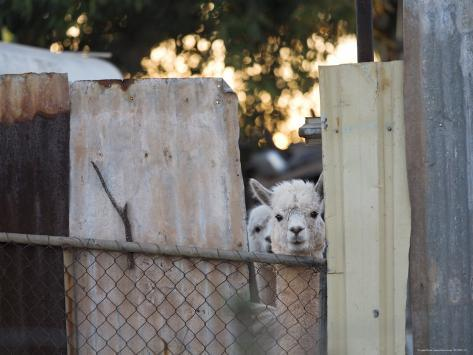 Alpacas Looking Through a Gap in a Backyard Fence, Williamstown Photographic Print