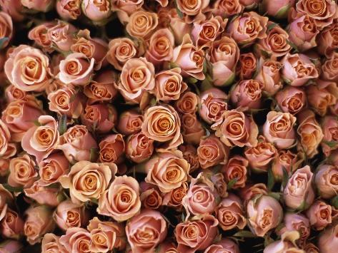 Pink Roses at Albert Kuyp Market Photographic Print