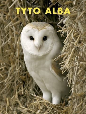 Owl (Tyto Alba) Stretched Canvas Print