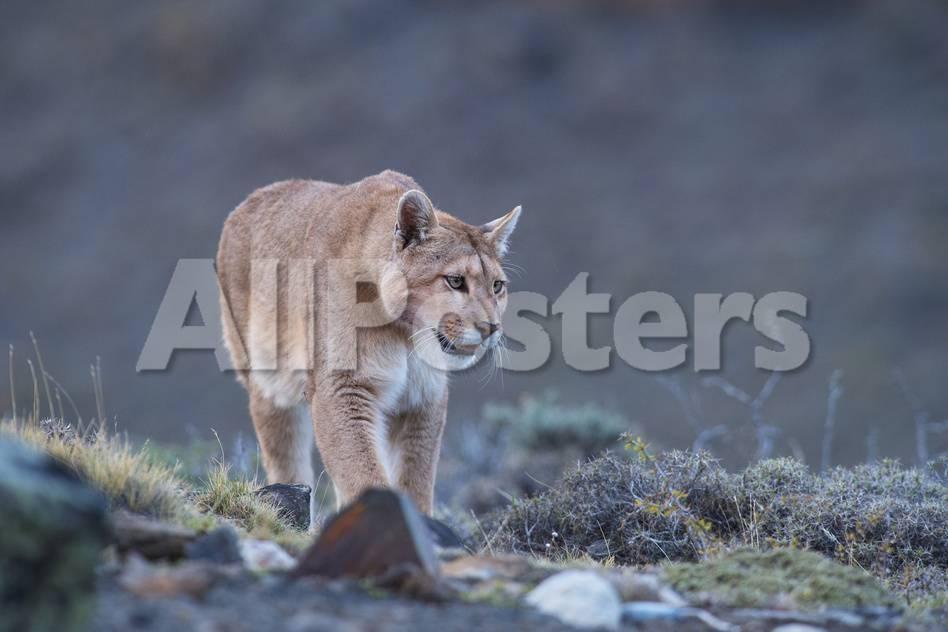 Puma (Puma Concolor) (Wild Puma), Patagonia, Chile, South America ...