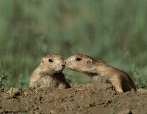 Pair Of Prairie Dogs (Kiss) Mini Poster