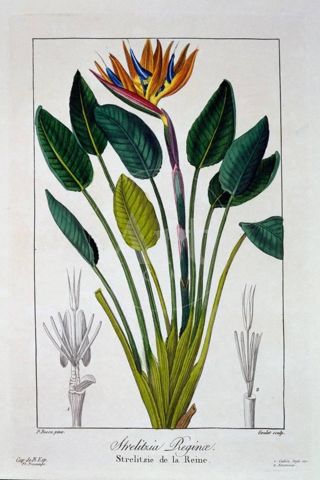 Bird Of Paradise Or Crane Flower 1836 Giclee Print By Pancrace