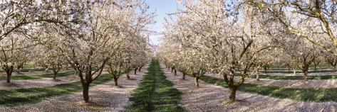 Almond Trees in an Orchard, Central Valley, California, USA Stretched Canvas Print