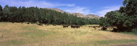 American Bison Grazing on Landscape, South Dakota Highway 87, Custer State Park, South Dakota Photographic Print