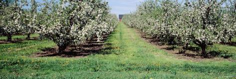 Apple Trees in an Orchard, Kent County, Michigan, USA Photographic Print