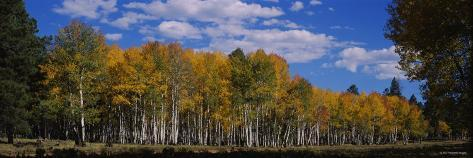 Aspen Trees in a Forest, Coconino National Forest, Flagstaff, Arizona, USA Photographic Print