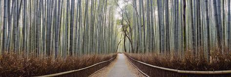Bamboo Trees in a Forest, Arashiyama, Kyoto Prefecture, Japan Photographic Print