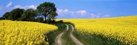Canola, Farm, Yellow Flowers, Germany Photographic Print