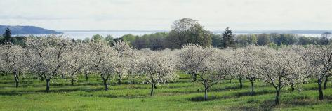 Cherry Trees in an Orchard, Mission Peninsula, Traverse City, Michigan, USA Photographic Print