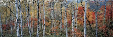 Fall Trees, Shinhodaka, Gifu, Japan Photographic Print