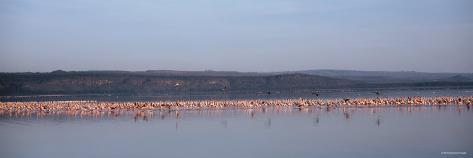Flamingo Birds in the Lake, Lake Nakuru National Park, Kenya Photographic Print