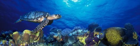 Hawksbill Turtle and French Angelfish with Stoplight Parrotfish Photographic Print