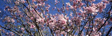 Magnolias, Golden Gate Park, San Francisco, California, USA Photographic Print