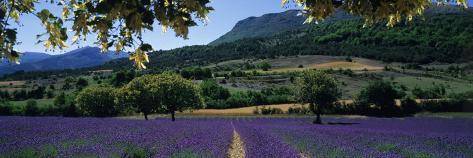 Mountain Behind a Lavender Field, Provence, France Photographic Print