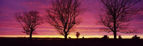 Oak Trees, Sunset, Sweden Photographic Print