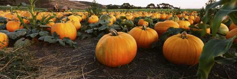 Pumpkins in a Field, Half Moon Bay, California, USA Photographic Print
