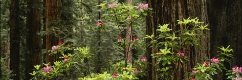 Redwood Trees with Pink Flowers in a Forest, Redwood National Park, California, USA Photographic Print