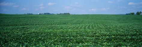 Soybean Crop in a Field, Tama County, Iowa, USA Photographic Print