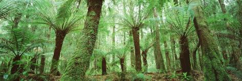 Trees in a Forest, Franklin Gordon Wild Rivers National Park, Tasmania, Australia Photographic Print