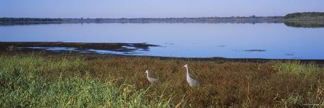 Two Sandhill Cranes in a Field, Myakka Lake, Sarasota, Florida, USA Photographic Print