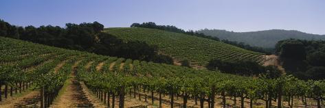 Vineyard on a Landscape, Napa Valley, California, USA Photographic Print