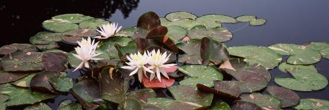 Water Lilies in a Pond, Sunken Garden, Olbrich Botanical Gardens, Madison, Wisconsin, USA Photographic Print