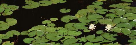 Water Lilies, Suwannee Recreation Area, Okefenokee National Wildlife Refuge, Georgia, USA Photographic Print