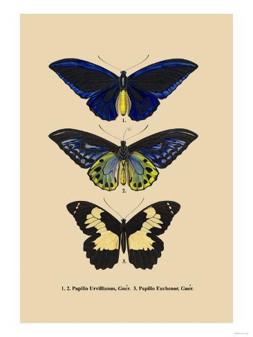 Papilio Urvillianus, Guer Art Print