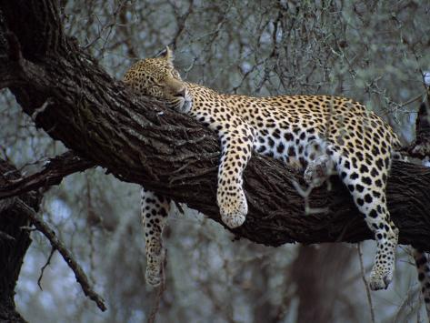Close-Up of a Single Leopard, Asleep in a Tree, Kruger National Park, South Africa Photographic Print