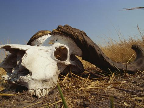 Skull of Cape Buffalo, Kruger National Park, South Africa, Africa Photographic Print