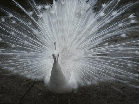 A Beautiful Albino Peacock (Pavo Species) Walks Toward the Camera Photographic Print