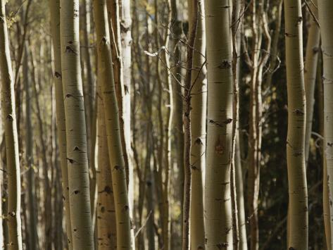 A Large Grouping of Birch Trees Photographic Print