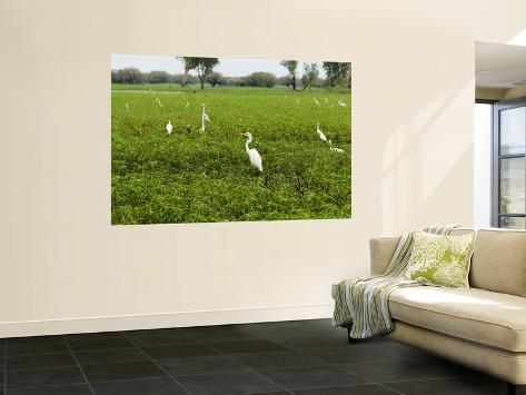 Yellow Waters Billabong with Water Birds Including Herons and Egrets Wall Mural