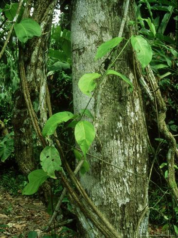 Ayahuasca Vine, Used as Hallucinogen, Amazonian Peru Photographic Print