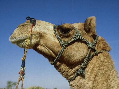Domestic Camel, Thar Desert, India Photographic Print