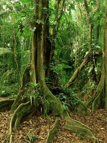 Rainforest Katway Tree, Buttress Roots Photographic Print